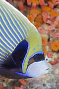 Featured Art - Emperor Angelfish Ellaidhoo House Reef by Reinhard Dirscherl