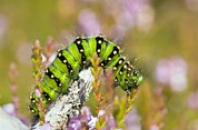 Eating Entomology Photo Posters - Emperor Moth Caterpillar Poster by Duncan Shaw