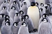 Standing Out From The Crowd Framed Prints - Emperor Penguin (aptenodytes Forsteri) In Center Of Group Of Chicks Framed Print by Joseph Van Os
