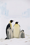 Difference Framed Prints - Emperor Penguin Aptenodytes Forsteri Framed Print by Konrad Wothe