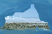 Antarctic Ocean Prints - Emperor Penguin Aptenodytes Forsteri Print by Pete Oxford