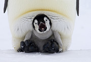 Open Mouth Prints - Emperor Penguin Aptenodytes Forsteri Print by Rob Reijnen