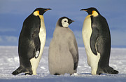 Baby Bird Photos - Emperor Penguin Aptenodytes Forsteri by Tui De Roy