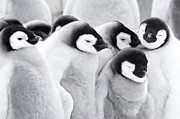 Frozen Water Posters - Emperor Penguin Chicks (aptenodytes Forsteri), Close-up Poster by Daisy Gilardini