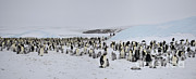 Emperor Penguin Photos - Emperor Penguin Colony by Greg Dimijian
