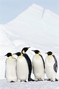 Emperor Penguin Prints - Emperor Penguins And Icebergs, Weddell Sea Print by Joseph Van Os