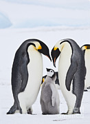 Emperor Penguin Photos - Emperor Penguins, Antarctica by Greg Dimijian