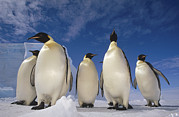 Front View Art - Emperor Penguins Antarctica by Tui De Roy
