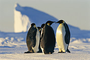Sea Birds Prints - Emperor Penguins, Aptenodytes Forsteri Print by Maria Stenzel