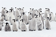 Emperor Penguin Photos - Emperor Penguins, Group Of Chicks. by Martin Ruegner