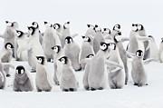 Emperor Penguins, Group Of Chicks. Print by Martin Ruegner