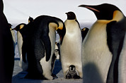 Sheltering Prints - Emperor Penguins Sheltering Chicks Print by Doug Allan