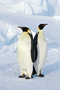 Animal Themes Metal Prints - Emperor Penguins, Weddell Sea Metal Print by Joseph Van Os