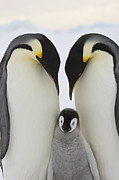 Animals Love Framed Prints - Emperor Penguins With Young Chick Framed Print by Sue Flood