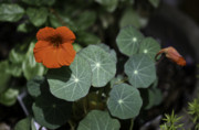 Teresa Mucha - Empress of India Nasturtium