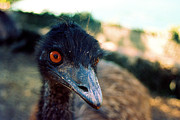 Brainy Framed Prints - Emu - Emu Looks Framed Print by Luke Kneale