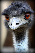 Animal Photographs Framed Prints - Emu at Melbourne Zoo Framed Print by Tam Graff