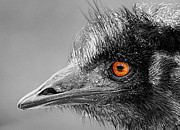 Orange And Black Birds Posters - Emu Eye Poster by Jamie Austin