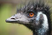 Emu Print by Karol  Livote