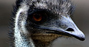 Animal Photographs Framed Prints - Emu Staredown Framed Print by Tam Graff