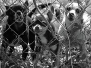 Imprisoned Art - Encarcelados Chihuahuas by DigiArt Diaries by Vicky Browning