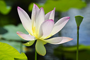 Lotus Lily Posters - Enchanted Beauty Poster by Melanie Moraga