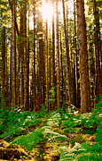  Tall Trees Prints - Enchanted Forest Print by Dan Mihai