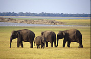 Floodplain Framed Prints - Endangered Asian Elephants Graze On Dry Framed Print by Jason Edwards