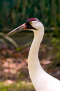 White Crane Prints - Endangered Species - Whooping Crane Print by Rich Leighton