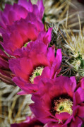 Hedgehog Cactus Prints - Englemans Hedgehog Cactus  Print by Saija  Lehtonen