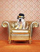 High Society Posters - English Bulldog (canis Lupus Familiaris) On Chair Poster by Catherine Ledner
