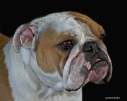 Akc Framed Prints - English Bulldog Framed Print by Larry Linton