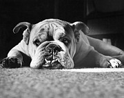 English Dog Prints - English Bulldog Print by M E Browning and Photo Researchers