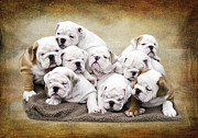 Bulldog Framed Prints - English Bulldog Pups Framed Print by Jody Trappe Photography