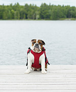 Life Jacket Prints - English Bulldog Wearing Life Jacket On Dock Print by Lwa