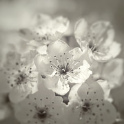 White Flower Photos - English Hawthorn by Scott Norris