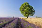 Crowd Scene Art - English Lavender And Wheat Field With Tree, Valensole, Valensole Plateau, Alpes-de-haute-provence, Provence-alpes-cote D Azur, Provence, France by Martin Ruegner