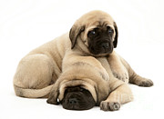 Sleeping Puppies Framed Prints - English Mastiff Puppies Framed Print by Jane Burton