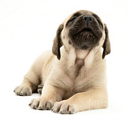 English Mastiffs Photos - English Mastiff Puppy by Jane Burton