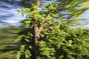 Horizontal Abstract Landscape Prints - English Oak Quercus Robur Blowing Print by Konrad Wothe