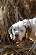Electronic Photos - English Pointer On Point - D004001 by Daniel Dempster