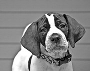 Susan Leggett Posters - English Pointer Puppy Black and White Poster by Susan Leggett