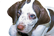Susan Leggett Posters - English Pointer Puppy Poster by Susan Leggett
