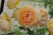 English Rose Posters - English Rose Apricot Crown Princess Margareta 2 Poster by Robyn Stacey