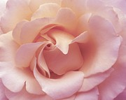 English Rose Posters - English rose Poster by Sharon Lisa Clarke