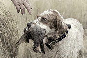 Hunt Metal Prints - English Setter and Hungarian Partridge - D003092a Metal Print by Daniel Dempster