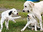 Puppies Art - English Setter Fun by Scott Hansen