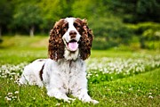 Asta Viggosdottir - English Springer Spaniel