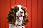 Asta Viggosdottir - English Springer Spaniel...