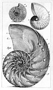 1750s Photos - Engraving Of A Nautilus And An Ammonite by Middle Temple Library
